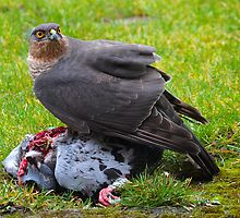Sparrowhawk (Accipiter nisus) by Norfolkimages