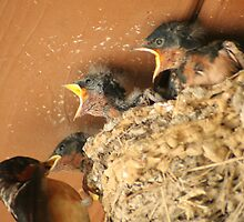 Feed Me! Feed Me! Barn Swallow Babies by Laurel Talabere