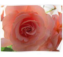 Peach Crumble Rose Poster