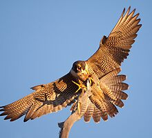 Peregrine Perch by Kent Keller