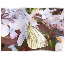 Butterfly- Green Veined White Poster