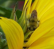 In The Sunflower Petals by Jonice