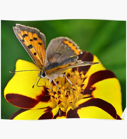 Vibrant Butterfly Poster