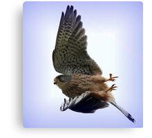 Flight Of The Kestrel / None Captive Canvas Print
