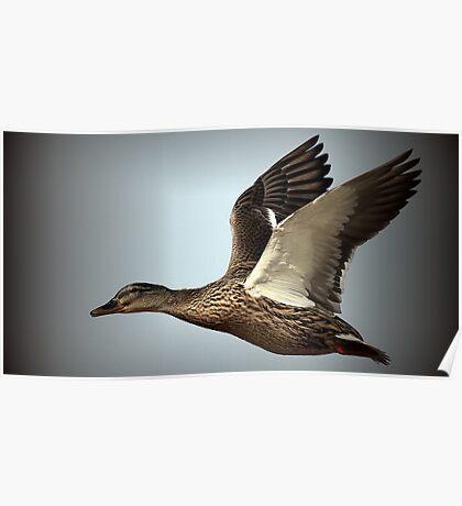 Flight Of The Mallard Poster