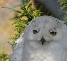 Snow owl by sharkyvin