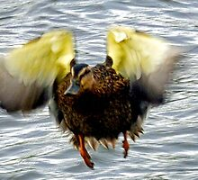 Goofy Duck - by lynn carter