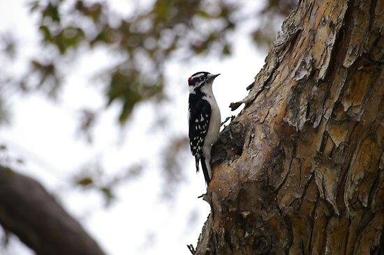 Downey Woodpecker Male by Daniel Doyle