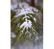 Snowy Fir Bough Photographic Print