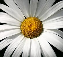 Sheer Summer - White Daisy by Crystal Meyer
