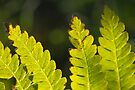 Backlit Fronds by Aaron Campbell