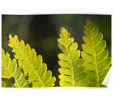 Backlit Fronds Poster