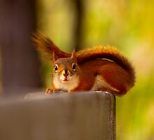 Red tailed Squirrel by Josef Pittner