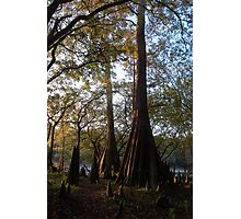 Three Rivers Cypress Trees Photographic Print