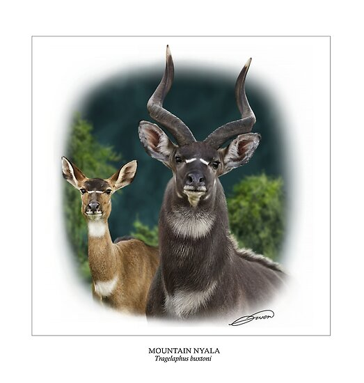 MOUNTAIN NYALA Tragelaphus buxtoni #1 ( NOT A PHOTOGRAPH) PLEASE READ BLURB by DilettantO