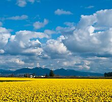 Skagit Daffodil Fields by RavenFalls