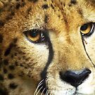 SAM...Male Cheetah at the San Antonio Zoo by kellimays