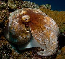 Common Octopus by tkrebs