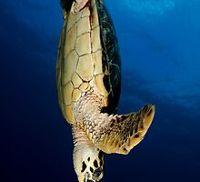 Hawksbill Freedive by tkrebs