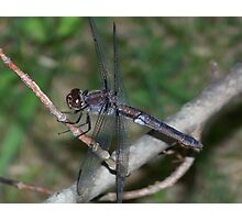 Male Slaty Skimmer hanging out.. Photographic Print