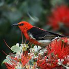 Scarlett Honeyeater by Magee