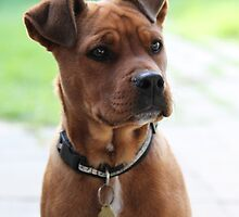 """Blaze"" - Mastiff Ridgeback cross by Sophie Lapsley"