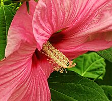 Pink Hibiscus by Pamela Phelps