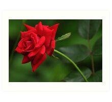 Knockout rose bloom Art Print