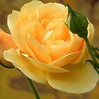 The Yellow Rose by newfan