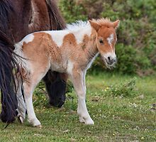 Forest Foal by Val Saxby