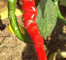 Cayenne Pepper by jdenig