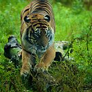 Sumatran Tiger by Samuel Fletcher