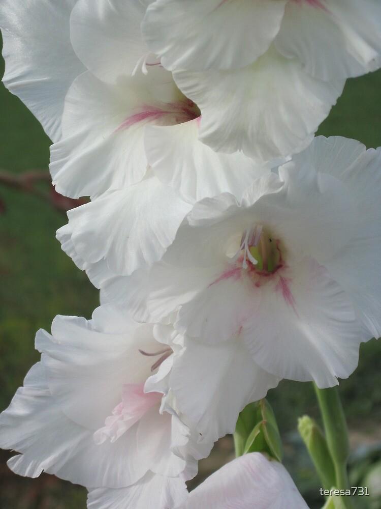 White Glads - Heavenly Beauty by teresa731
