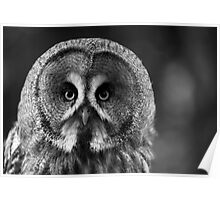 My what big eyes you have - Great Grey Owl portrait Poster