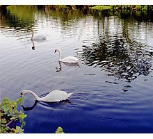 White Swan, group of 3 in colour image. Photographic Print