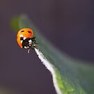 Ladybird Assassin by M R Cooper