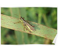 Green Grasshopper,Green Grass... Poster