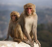 Monkey  by Naveen  Sharma