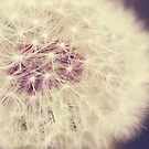 Soft White Dandelion by ameliakayphotog