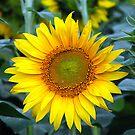 Plant Sunflower by RajeevKashyap