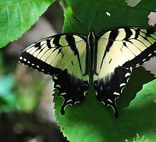 Swallowtail by mltrue