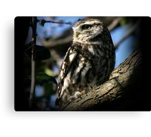 The Little Owl - None Captive Canvas Print