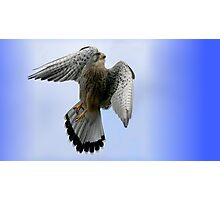Flight Of The Kestrel / None Captive Photographic Print