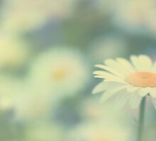 Just another daisy by Softly