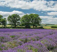 Lavender fields by Judi Lion