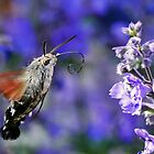 Most Beautiful Photos BIG  Best THE SPHINX (butterfly) Never seen here 16 (c)(t) by Olao-Olavia / Okaio Créations  by fz 1000 353.000 photos by okaio caillaud olivier