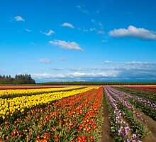 Woodburn Tulip Fields by RavenFalls