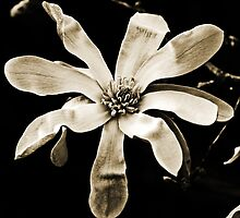Magnolia In Sepia by Evita