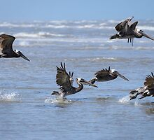 Brown Pelicans in Flight by Debra Martz