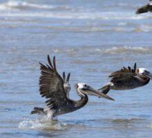 Brown Pelicans in Flight Sticker